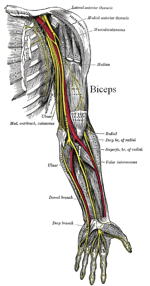 How muscles get bigger- Image courtesy Grays' anatomy